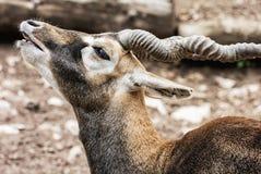 Πορτρέτο Blackbuck (cervicapra Antilope), ζωική σκηνή, κατσαρωμένο χ Στοκ Φωτογραφία