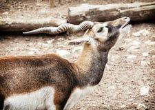 Πορτρέτο Blackbuck (cervicapra Antilope), ζωική σκηνή Στοκ Φωτογραφία
