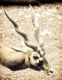 Πορτρέτο Blackbuck (cervicapra Antilope), φυσική σκηνή Στοκ φωτογραφία με δικαίωμα ελεύθερης χρήσης