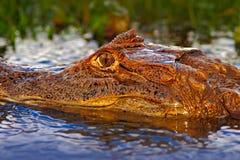 Πορτρέτο Caiman, κροκόδειλος στο νερό με τον ήλιο βραδιού Κροκόδειλος από τη Κόστα Ρίκα Κροκόδειλος στο νερό Πορτρέτο προσώπου το Στοκ Εικόνα