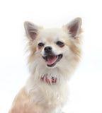 Πορτρέτο Chihuahua μπροστά από την άσπρη ανασκόπηση Στοκ Φωτογραφία