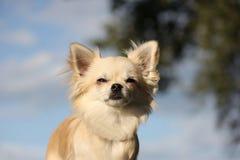 Πορτρέτο Chihuahua Στοκ Φωτογραφίες