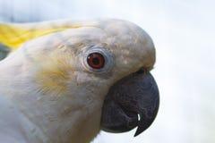 Πορτρέτο Cockatoo, μακρο φωτογραφία Στοκ Φωτογραφίες