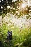 Πορτρέτο Corso καλάμων σκυλιών στο πεδίο Στοκ Εικόνες