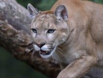 Πορτρέτο Cougars στοκ εικόνα