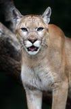 Πορτρέτο Cougars στοκ φωτογραφία με δικαίωμα ελεύθερης χρήσης