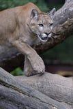 Πορτρέτο Cougars στοκ φωτογραφίες