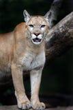 Πορτρέτο Cougars στοκ εικόνες