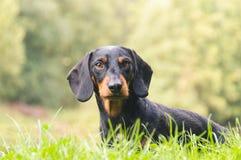 Πορτρέτο dachshund στη φύση Στοκ Εικόνες