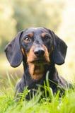 Πορτρέτο dachshund στη φύση Στοκ Φωτογραφία