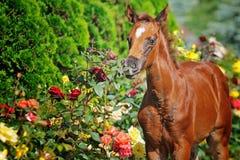 Πορτρέτο foal κάστανων Στοκ εικόνα με δικαίωμα ελεύθερης χρήσης