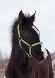 Πορτρέτο foal σκοτεινός-κόλπων Στοκ Φωτογραφίες