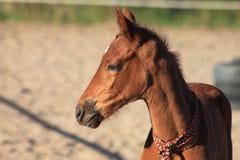 Πορτρέτο foal Στοκ Φωτογραφίες