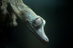 πορτρέτο gecko ματιών έμφασης Στοκ φωτογραφία με δικαίωμα ελεύθερης χρήσης