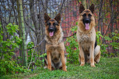 πορτρέτο germna σκυλιών sheperd Στοκ φωτογραφία με δικαίωμα ελεύθερης χρήσης