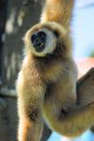 Πορτρέτο gibbon Στοκ φωτογραφία με δικαίωμα ελεύθερης χρήσης