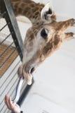 Πορτρέτο giraffe με τη γλώσσα Στοκ Φωτογραφία