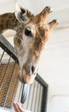 Πορτρέτο giraffe με τη γλώσσα Στοκ Εικόνα