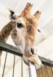 Πορτρέτο giraffe με τη γλώσσα Στοκ εικόνα με δικαίωμα ελεύθερης χρήσης