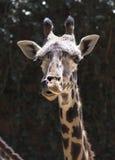 Πορτρέτο giraffe στενού ενός επάνω Στοκ εικόνα με δικαίωμα ελεύθερης χρήσης
