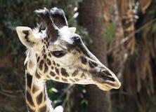 Πορτρέτο giraffe στενού ενός επάνω Στοκ Εικόνες