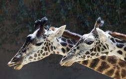Πορτρέτο giraffe στενού ενός επάνω Στοκ Εικόνα