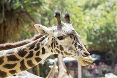 Πορτρέτο giraffe στενού ενός επάνω Στοκ φωτογραφίες με δικαίωμα ελεύθερης χρήσης