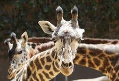 Πορτρέτο giraffe στενού ενός επάνω Στοκ Φωτογραφία