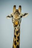 Πορτρέτο giraffe Στοκ Φωτογραφία