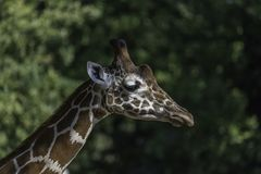 Πορτρέτο giraffe Στοκ Εικόνες