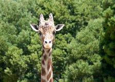 Πορτρέτο giraffe Στοκ εικόνα με δικαίωμα ελεύθερης χρήσης