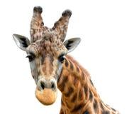 Πορτρέτο giraffe Στοκ Φωτογραφίες