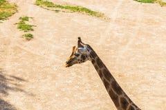 Πορτρέτο giraffe Στοκ εικόνες με δικαίωμα ελεύθερης χρήσης