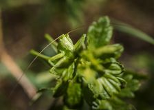 Πορτρέτο grasshopper στοκ εικόνες με δικαίωμα ελεύθερης χρήσης