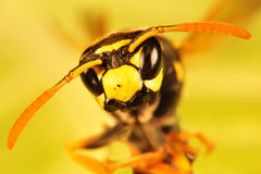 Πορτρέτο Hornet, πορτρέτο μελισσών Στοκ φωτογραφία με δικαίωμα ελεύθερης χρήσης