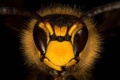 Πορτρέτο Hornet Στοκ φωτογραφία με δικαίωμα ελεύθερης χρήσης