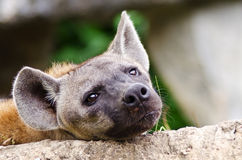 πορτρέτο hyena που επισημαίνεται Στοκ φωτογραφίες με δικαίωμα ελεύθερης χρήσης