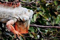 Πορτρέτο Iguana Στοκ Εικόνα