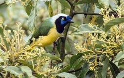 Πορτρέτο Inca Jay, yncas yncas Cyanocorax που σκαρφαλώνει, Ισημερινός στοκ εικόνες