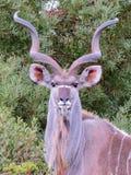 Πορτρέτο Kudu Στοκ εικόνα με δικαίωμα ελεύθερης χρήσης