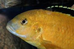 Πορτρέτο Labidochromis Στοκ Φωτογραφία