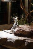 Πορτρέτο Leguan Στοκ Εικόνες