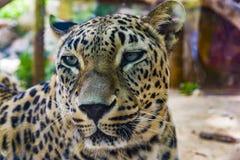 Πορτρέτο leopard Στοκ Φωτογραφίες