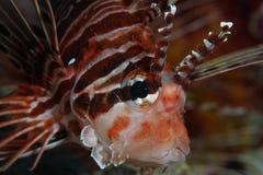 Πορτρέτο Lionfish Στοκ Εικόνα