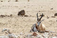 Πορτρέτο marsupialis Antidorcas αντιδορκάδων Στοκ Φωτογραφία