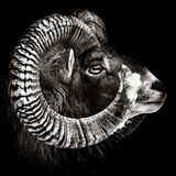 Πορτρέτο Mouflon μονοχρωματικό στοκ εικόνα με δικαίωμα ελεύθερης χρήσης