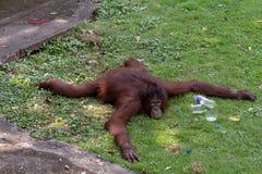 Πορτρέτο orangutan στοκ φωτογραφία με δικαίωμα ελεύθερης χρήσης