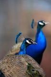 Πορτρέτο Peacock Στοκ Φωτογραφία