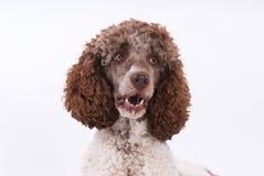 Πορτρέτο poodle Στοκ Εικόνες
