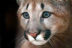 Πορτρέτο Puma με τα όμορφα μάτια Στοκ Φωτογραφίες